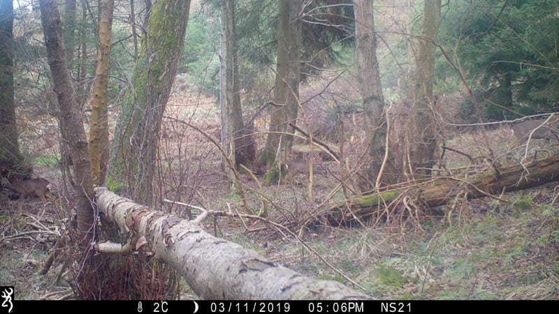 Elusive Roe deer